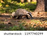 badger in forest  animal in... | Shutterstock . vector #1197740299