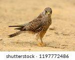 beautiful female common... | Shutterstock . vector #1197772486