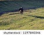 a bull   cow grazes in a meadow ... | Shutterstock . vector #1197840346