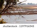 botswana birds. the great white ... | Shutterstock . vector #1197916543