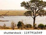 botswana birds. the great white ... | Shutterstock . vector #1197916549