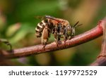 fat bee sleeping on the grass... | Shutterstock . vector #1197972529