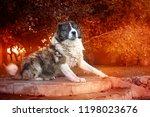 fluffy caucasian shepherd dog... | Shutterstock . vector #1198023676