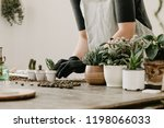 Gardeners hand planting cacti and succulents in white pots on the wooden table. Concept of home gardener.  - stock photo