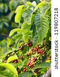 close up coffee plants tree in... | Shutterstock . vector #119807218