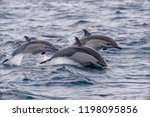 a set of common dolphins jump... | Shutterstock . vector #1198095856
