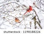 two red northern cardinal ... | Shutterstock . vector #1198188226