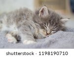 Stock photo little fluffy grey persian maine coon kitten lies and sleeps on a gray pillow newborn kitten 1198190710