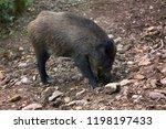 wild boar  sus scrofa  digs... | Shutterstock . vector #1198197433