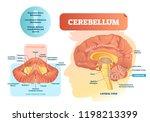 cerebellum vector illustration. ... | Shutterstock .eps vector #1198213399