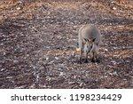 Australian Rock Wallaby Lookin...