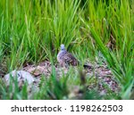 a local bird is seeking food | Shutterstock . vector #1198262503