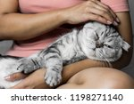 Stock photo scottish fold cat lying on lap happily cute cat sleeping on the lap of the girl and happy cat on 1198271140
