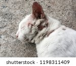 Stock photo siamese cat are injured have wound 1198311409