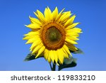 Big Sunflower Over Blue Sky An...