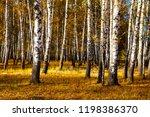 beautiful autumn birch grove on ... | Shutterstock . vector #1198386370