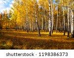 beautiful autumn birch grove on ... | Shutterstock . vector #1198386373