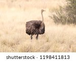 adult ostrich walking in the... | Shutterstock . vector #1198411813