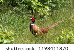 pheasant in a field in holland | Shutterstock . vector #1198411870