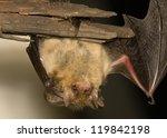 plecotus auritus | Shutterstock . vector #119842198
