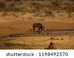 A Lone Sable Bull Drinking At ...