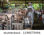 Stock photo asian veterinarian working and checking the big pig in hog farms animal and pigs farm industry 1198575496