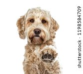 Stock photo head shot of pretty golden adult labradoodle dog doing high five paw lifted in air looking straight 1198584709