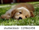 Stock photo golden retriever puppy 119861458