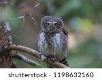 eurasian pygmy owl swabian jura ...   Shutterstock . vector #1198632160