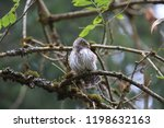 eurasian pygmy owl swabian jura ...   Shutterstock . vector #1198632163