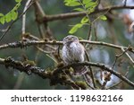eurasian pygmy owl swabian jura ...   Shutterstock . vector #1198632166