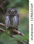eurasian pygmy owl swabian jura ...   Shutterstock . vector #1198632169