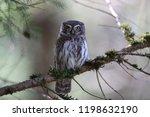 eurasian pygmy owl swabian jura ...   Shutterstock . vector #1198632190