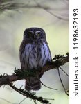 eurasian pygmy owl swabian jura ...   Shutterstock . vector #1198632193