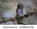 eurasian pygmy owl swabian jura ...   Shutterstock . vector #1198632196