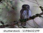 eurasian pygmy owl swabian jura ...   Shutterstock . vector #1198632199