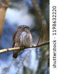 eurasian pygmy owl swabian jura ...   Shutterstock . vector #1198632220