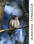 eurasian pygmy owl swabian jura ...   Shutterstock . vector #1198632223