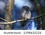 eurasian pygmy owl swabian jura ...   Shutterstock . vector #1198632226