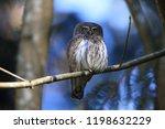 eurasian pygmy owl swabian jura ...   Shutterstock . vector #1198632229