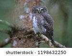 eurasian pygmy owl swabian jura ...   Shutterstock . vector #1198632250