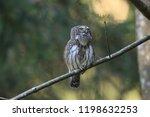 eurasian pygmy owl swabian jura ...   Shutterstock . vector #1198632253