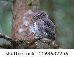 eurasian pygmy owl swabian jura ...   Shutterstock . vector #1198632256