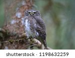 eurasian pygmy owl swabian jura ...   Shutterstock . vector #1198632259