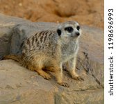 meerkat is a small southern...   Shutterstock . vector #1198696993