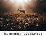 Lost Sheep On Autumn Pasture....