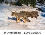 wild fox  zorro chilla  at el... | Shutterstock . vector #1198885009