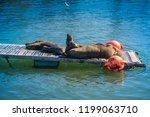 seals at valdivia port. | Shutterstock . vector #1199063710