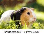 Guinea Pig  Cavia Porcellus  I...