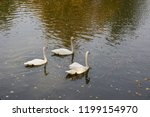 three white swans swim in the... | Shutterstock . vector #1199154970